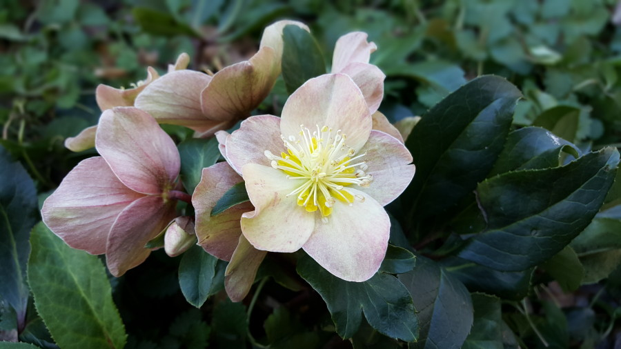 Helleborus In Winter